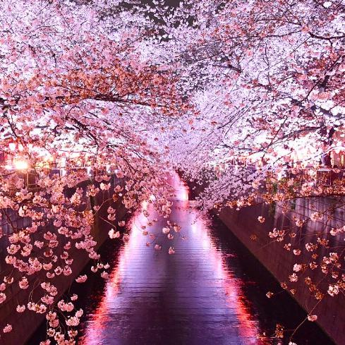 Japan Cherry Blossom Forecast: The cherry blossom season will begin on March 18 in Tokyo
